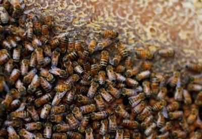 Больной рой пчел
