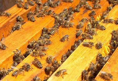 Как правильно объединить семьи пчел осенью
