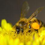 Пчела собирает нектар с цветков