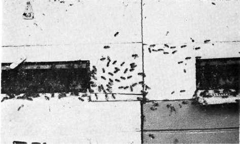 Дезертирство пчел