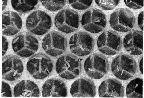 Яйцекладка рабочих пчел