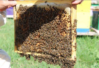 Объединение пчелиных семей перед медосбором